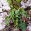 Alain Bigou - Jacobaea vulgaris subsp. vulgaris