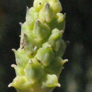 Photographie n°246341 du taxon Adonis microcarpa DC. [1817]