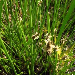 Photographie n°246417 du taxon Eleocharis palustris (L.) Roem. & Schult.