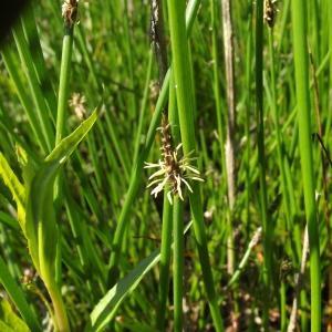 Photographie n°246418 du taxon Eleocharis palustris (L.) Roem. & Schult.