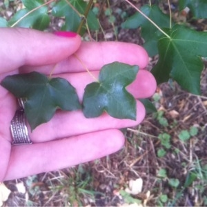 Photographie n°246493 du taxon Acer monspessulanum L. [1753]