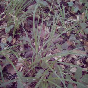Photographie n°246511 du taxon Carex sylvatica Huds. [1762]