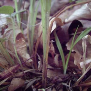 Photographie n°246512 du taxon Carex sylvatica Huds. [1762]