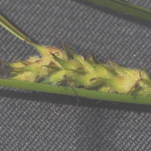 Photographie n°246587 du taxon Carex hirta L. [1753]