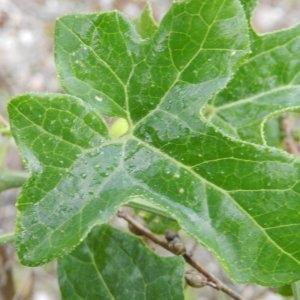Photographie n°246593 du taxon Bryonia dioica Jacq. [1774]
