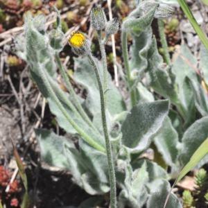 Photographie n°246599 du taxon Hieracium tomentosum L. [1755]