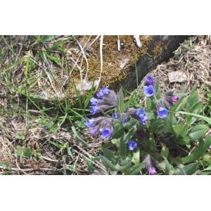 Pulmonaria angustifolia L. (Pulmonaire à feuilles étroites)