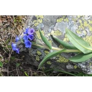 Pulmonaria angustifolia L. [1753] (Pulmonaire à feuilles étroites)