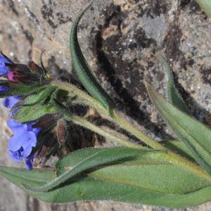 Photographie n°246657 du taxon Pulmonaria angustifolia L. [1753]