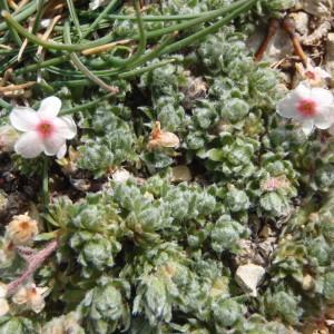 Photographie n°246771 du taxon Androsace villosa L. [1753]