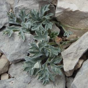 Photographie n°246805 du taxon Ranunculus seguieri Vill.