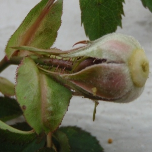 Photographie n°246827 du taxon Rosa dumalis Bechst. [1810]