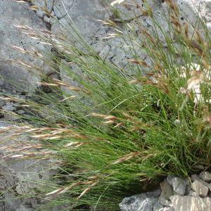 Photographie n°246836 du taxon Poaceae ventoux