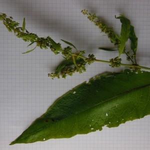 Photographie n°246855 du taxon Rumex obtusifolius L. [1753]
