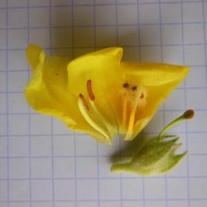 Photographie n°246876 du taxon Verbascum thapsus L.