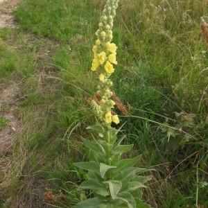 Photographie n°246892 du taxon Verbascum thapsus L.