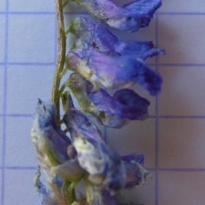 Photographie n°246904 du taxon Vicia cracca L. [1753]