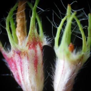 Photographie n°246914 du taxon Trifolium pratense L. [1753]