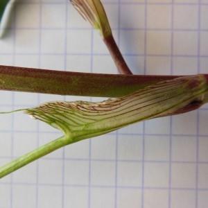 Photographie n°246915 du taxon Trifolium pratense L. [1753]