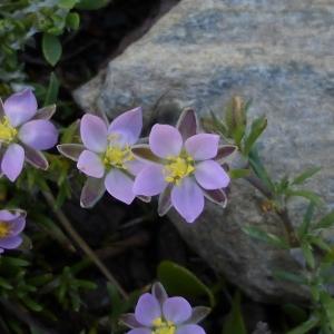 Photographie n°247005 du taxon Spergula rubra (L.) D.Dietr. [1840]
