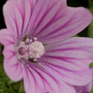 Photographie n°247036 du taxon Malva sylvestris subsp. sylvestris