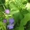Ans Gorter - Geranium sylvaticum L.