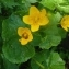 Ans Gorter - Caltha palustris f. palustris