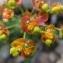 pierre germaine - Euphorbia cyparissias L. [1753]