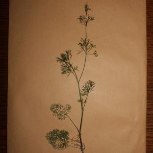 Photographie n°247980 du taxon Cyclospermum leptophyllum (Pers.) Sprague ex Britton & Wilson [1925]