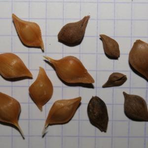 Photographie n°247995 du taxon Allium commutatum Guss. [1855]