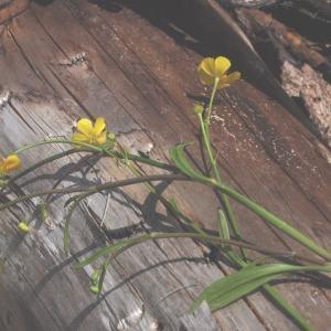 Photographie n°248137 du taxon Ranunculus flammula L. [1753]