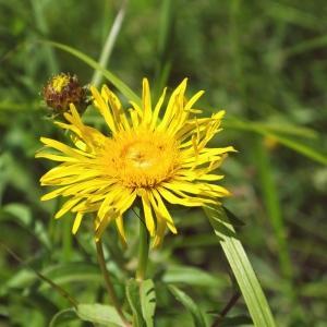Inula salicina L. [1753] (Inule à feuilles de saule)