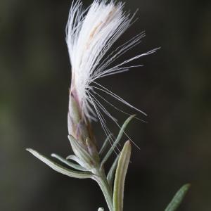 Staehelina dubia L. (Stéhéline)