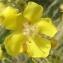 Jean-Claude Echardour - Verbascum pulverulentum Vill.