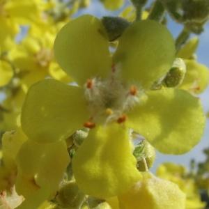 Photographie n°248291 du taxon Verbascum pulverulentum Vill.
