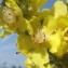 Jean-Claude Echardour - Verbascum pulverulentum Vill. [1779]