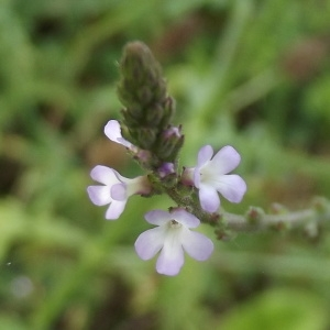 Verbena officinalis L. (Verveine officinale)