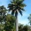 Ruddy Benezet - Jubaea chilensis (Molina) Baill.