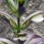 Patrice GIRAUDEAU - Acanthus mollis L.
