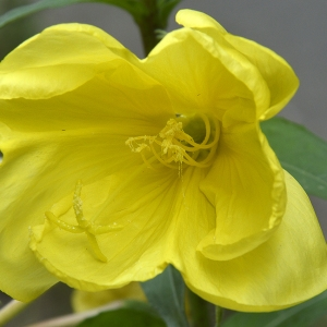 Oenothera glazioviana Micheli [1875] (Onagre à grandes fleurs)