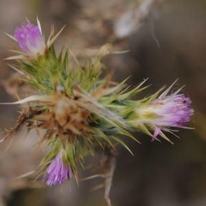 Carduus tenuiflorus Curtis (Chardon à capitules grêles)