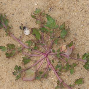 Photographie n°248391 du taxon Chenopodium rubrum L. [1753]