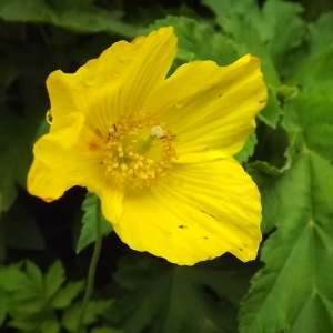 Papaver cambricum L. (Pavot du Pays de Galle)