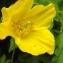Florent Beck - Meconopsis cambrica (L.) Vig. [1814]