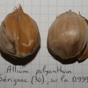 - Allium polyanthum Schult. & Schult.f.