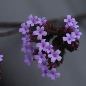 Verbena bonariensis L. (Verveine)