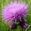 Ans Gorter - Cirsium rivulare (Jacq.) All. [1789]