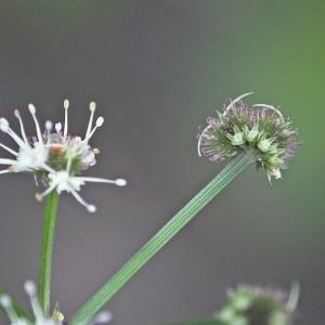Photographie n°248682 du taxon Sanicula europaea