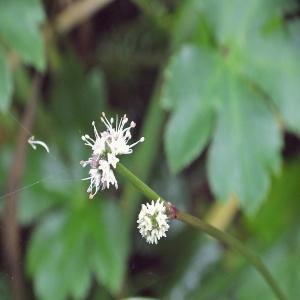 Photographie n°248685 du taxon Sanicula europaea