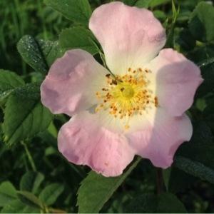 Photographie n°248701 du taxon Rosa canina L. [1753]